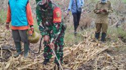 Peduli Petani, Babinsa TNI AD di Lampung Timur bersama Forkopimcam Gropyokan Tikus